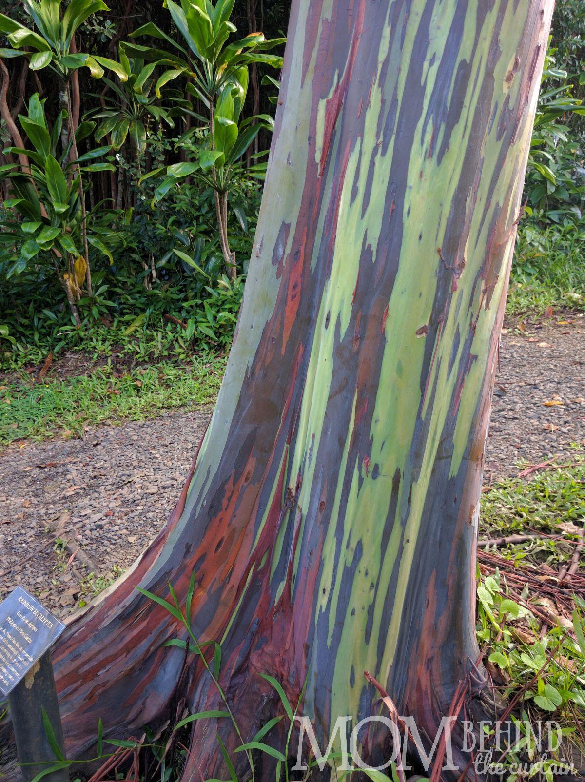 Rainbow eucalyptus tree labelled in Maui's Garden of Eden.