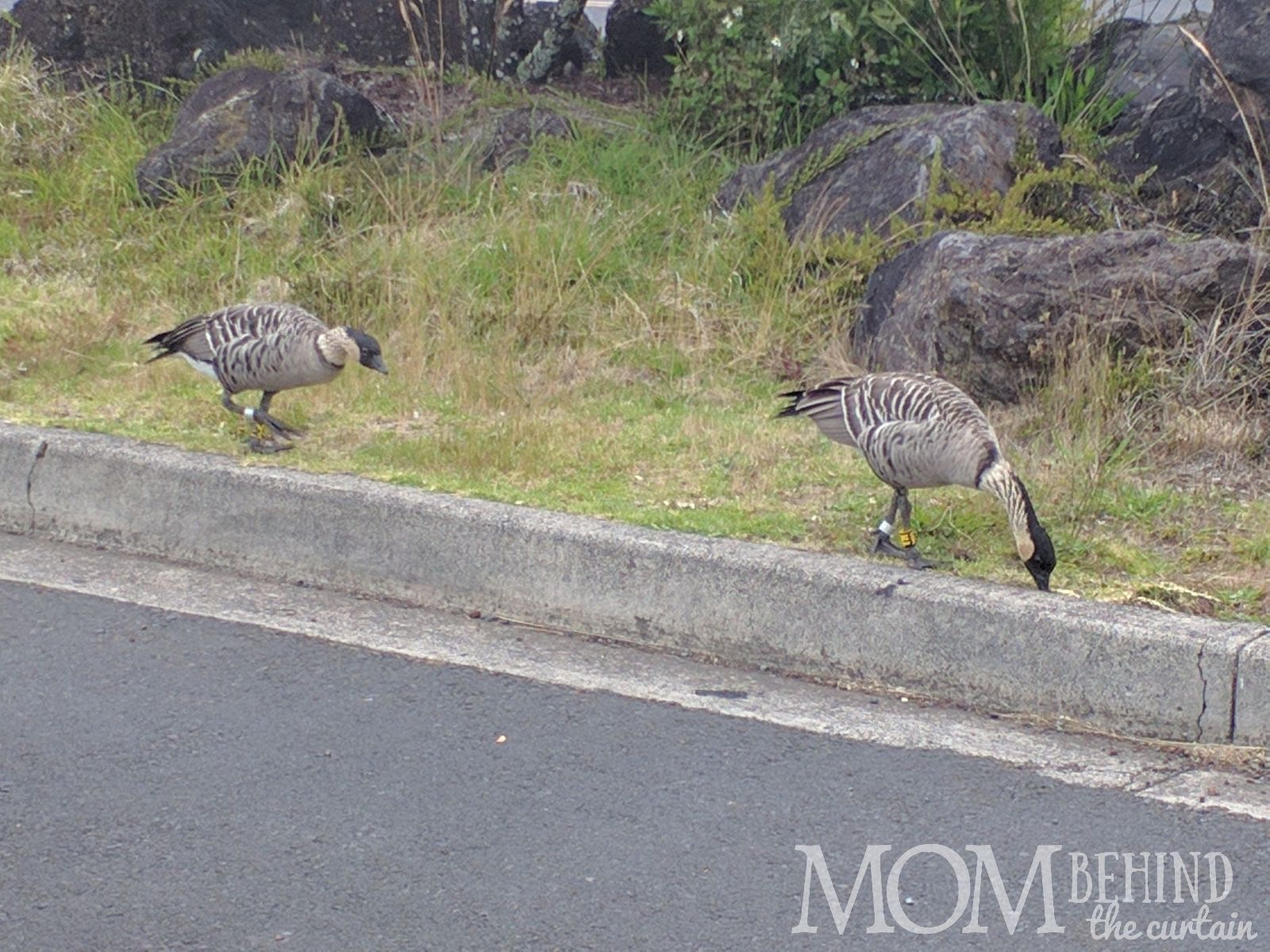 NeNe bird Hawaii on Maui Summit and crater drive.