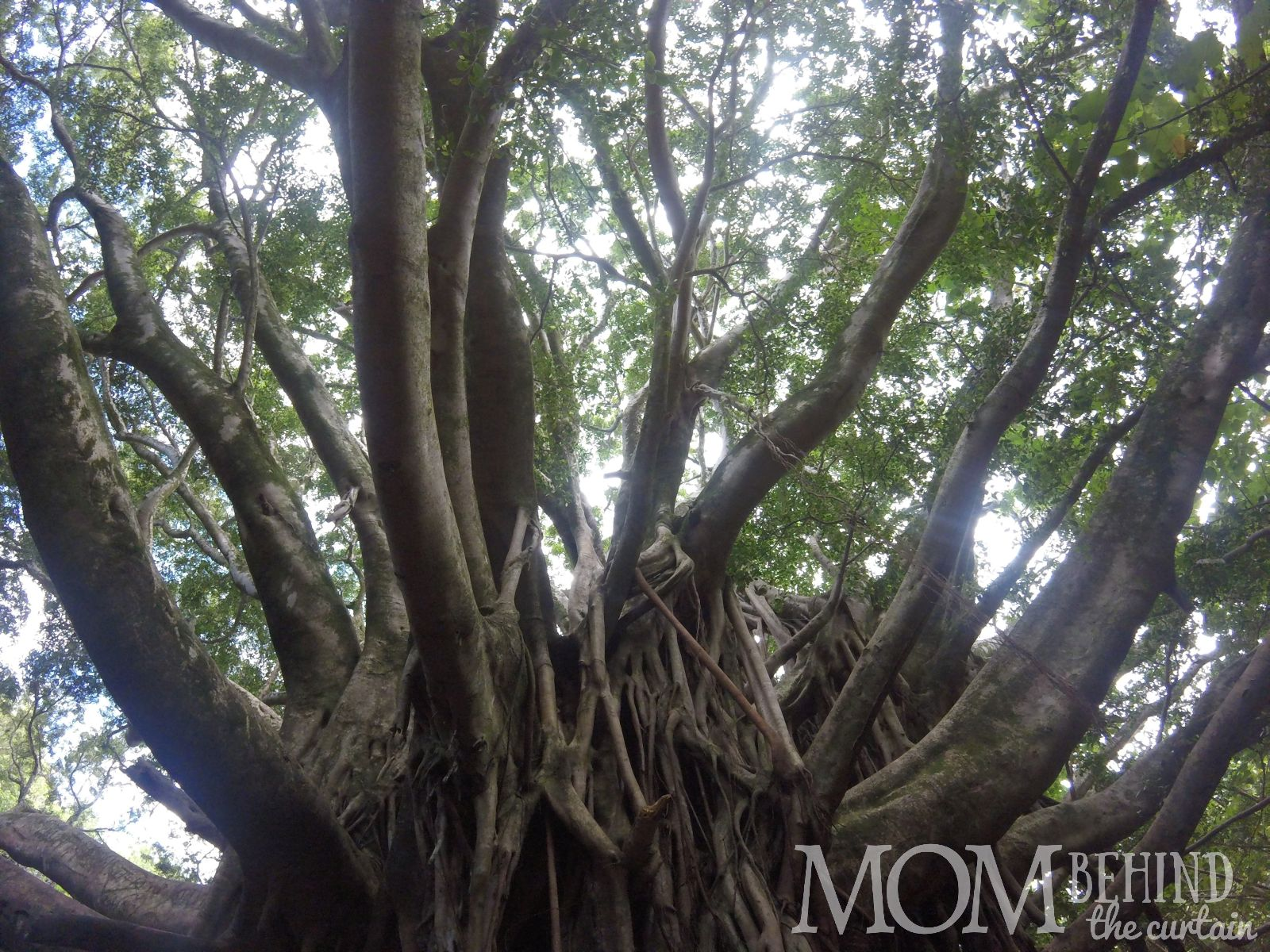 Banyan tree, tree climber's dream, on the Pipiwai trail to the Bamboo Forest, Maui