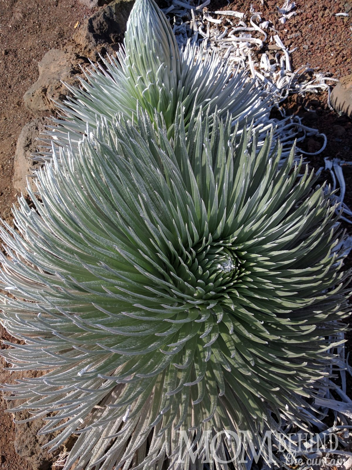 Silversword plant Haleakala Summit and Crater Maui