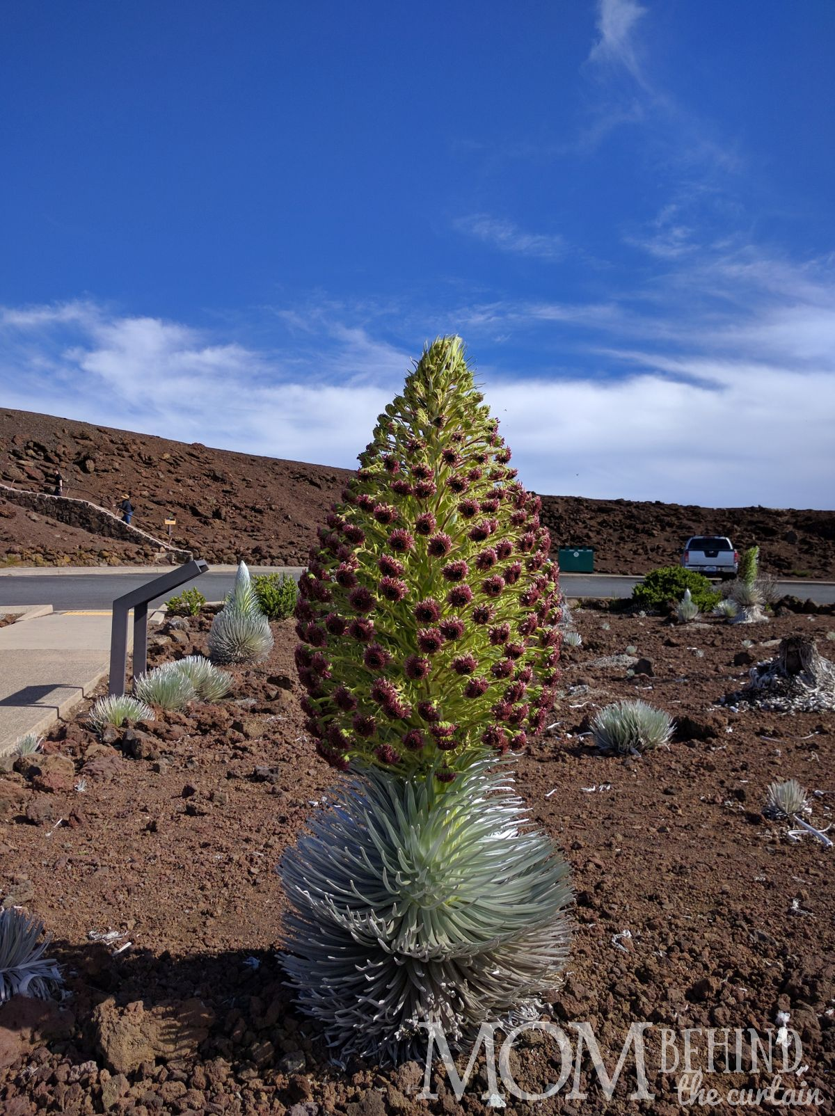 Silversword in bloom in the garden Haleakala Summit Maui.